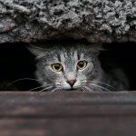KVV kat
