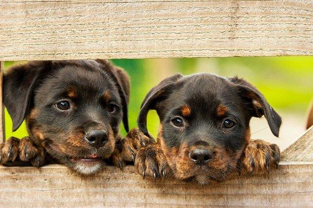 Waar moet ik rekening mee houden als ik een puppy wil gaan kopen?